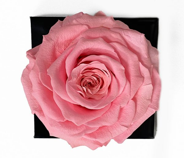 XL Light Pink Ecuadorian Eternity Flower Preserved Rose 9cm to 10cm